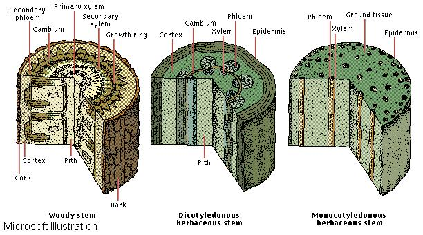 ... plants and angiosperms flowering plants and between the two divisions Xylem And Phloem In Plants