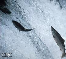 Salmon for Lake erie fish species