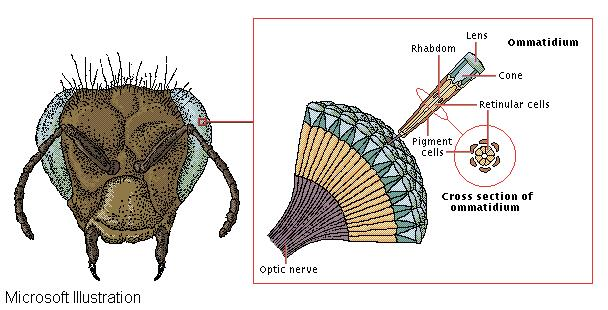 Anatomy of an insect