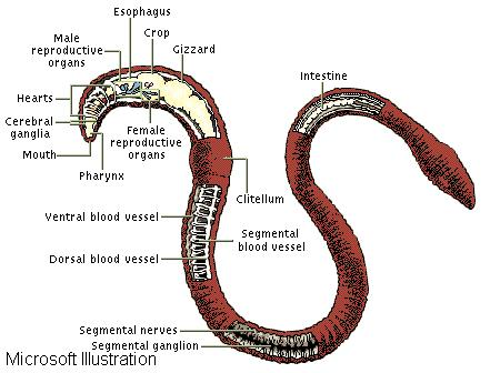 Female Reproductive Organs Diagram